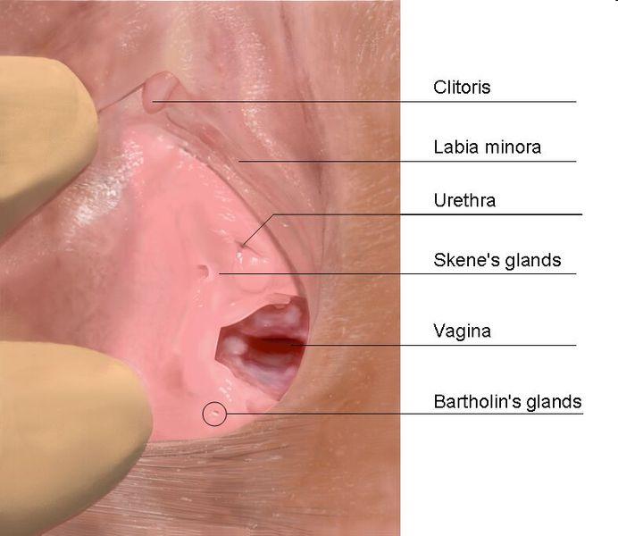Ubicación de la glándulas de Bartolino